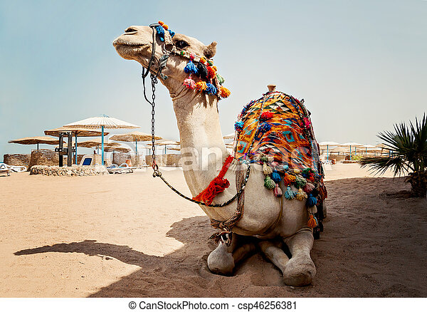 camel for tourist trips is in the sand on the beach in Egypt - csp46256381