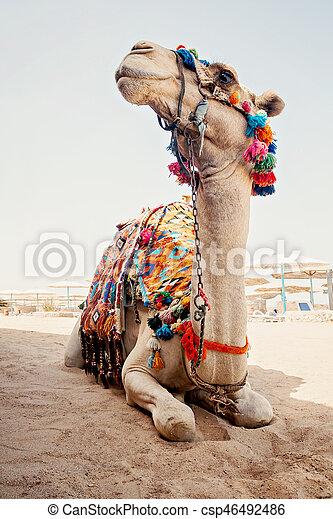 camel for tourist trips is in the sand on the beach in Egypt - csp46492486
