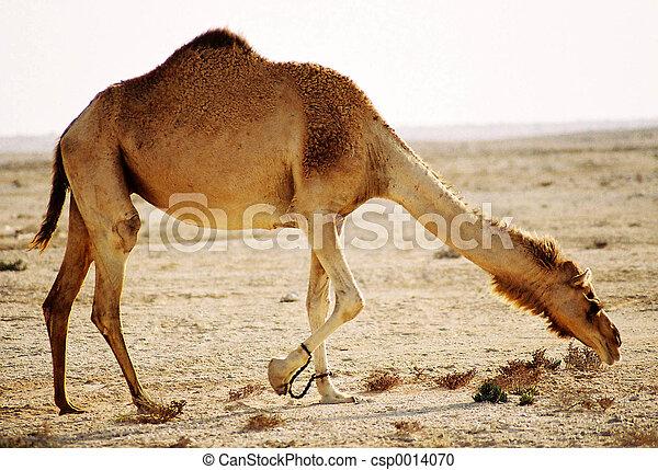 camel in the desert - csp0014070