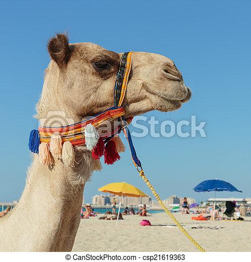 Camel on the beach in dubai marina camel on the beach in dubai marina csp21619363 altavistaventures Choice Image