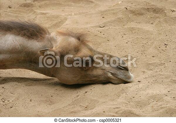 Camel - csp0005321