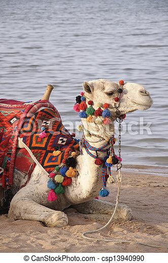 Camel Ride on the beach - csp13940990
