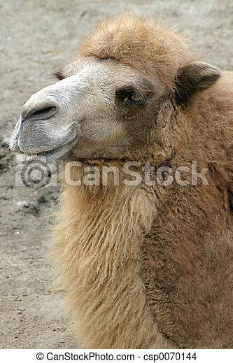 Camel Smiling - csp0070144