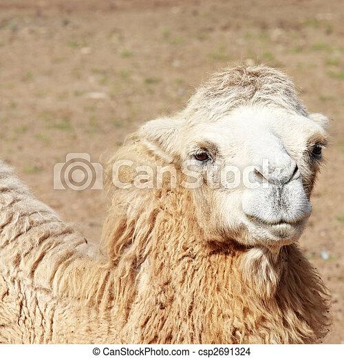 Camel - csp2691324