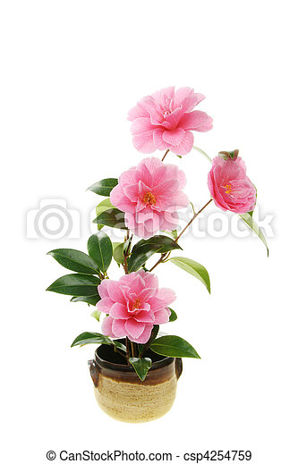 Camellia flowers in a pot - csp4254759