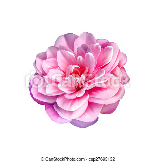 Camellia Pink Rose Flower Isolated On White Background