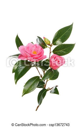 Camellia flowers bud and foliage isolated against white stock photo camellia csp13672743 mightylinksfo