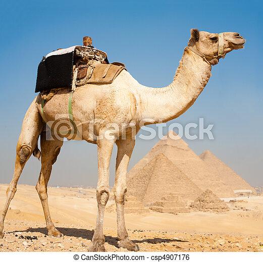 camello, todos, pirámides, juntos, giza - csp4907176