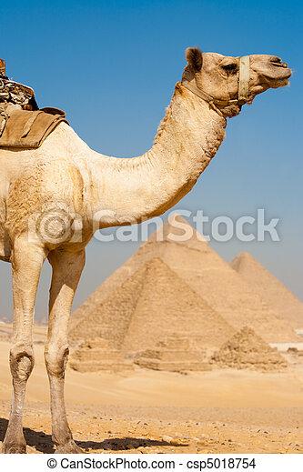 camello, todos, pirámides, mitad, fila - csp5018754