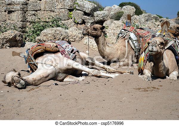 Camellos en la playa - csp5176996