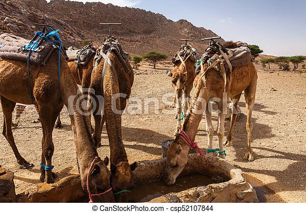 camels drink water from the well - csp52107844