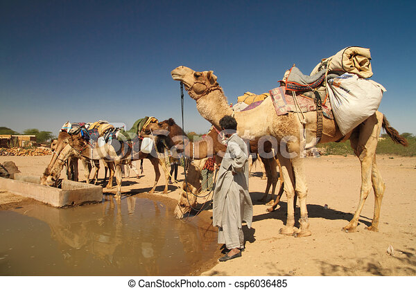 Camels drinking water at watering hole.