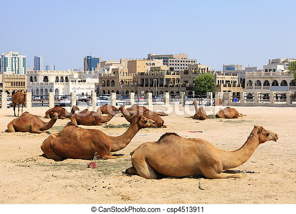 Camels in central Doha, Qatar - csp4513911