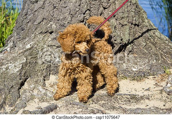 Camminare cucciolo barboncino rosso miniatura foto for Camminare in piani di progettazione dispensa