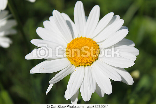 Camomile in garden - csp38269041