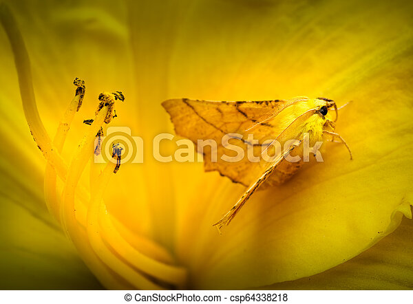 Camouflaged Canary-shouldered Thorn Moth in Daylily. - csp64338218