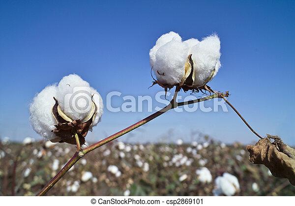 campo, algodão - csp2869101