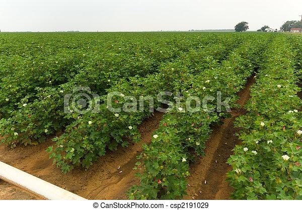 campo, algodão - csp2191029