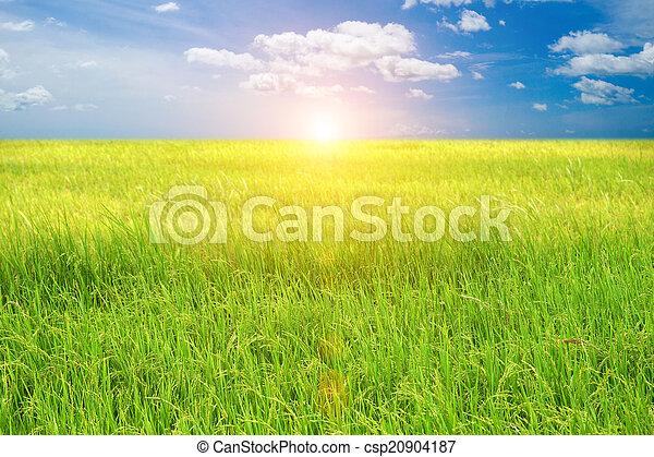 Campo de arroz - csp20904187