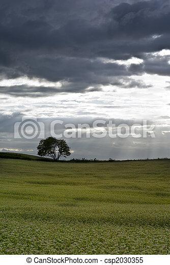 campo, buckwheat. - csp2030355