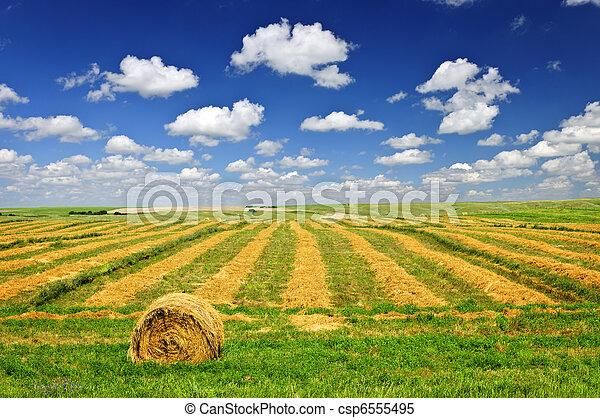 campo de la granja, cosecha de trigo - csp6555495