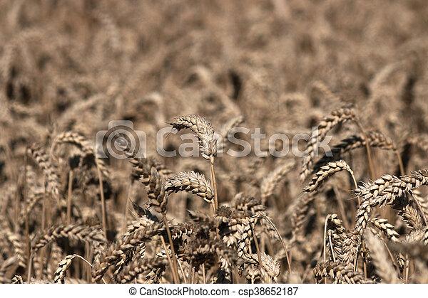 campo de trigo, verano, agricultura, estación - csp38652187