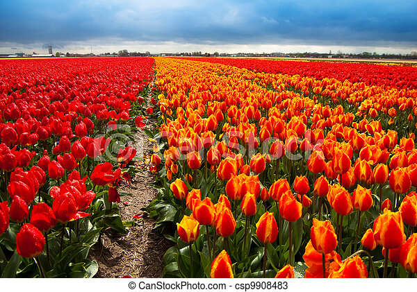 campo, flores, plano de fondo - csp9908483