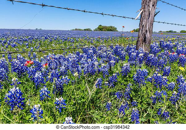 Campo de Texas lleno de bluebonnets. - csp31984342
