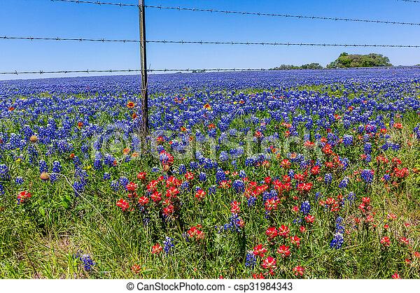 Campo de Texas lleno de bluebonnets. - csp31984343