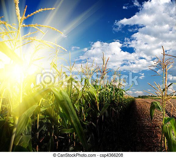 campo, milho, amanhecer - csp4366208