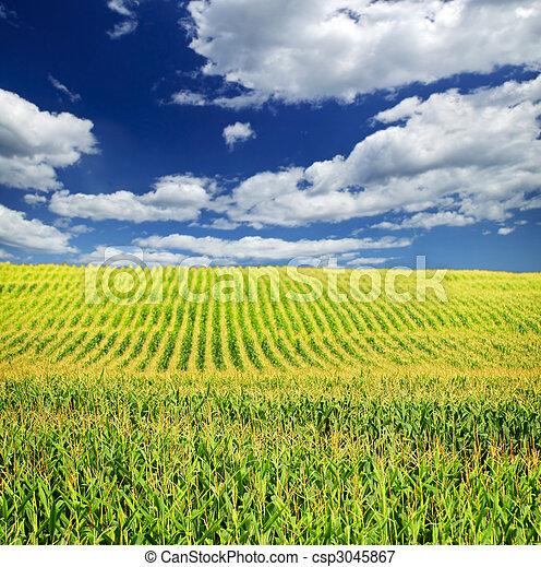 campo, milho - csp3045867