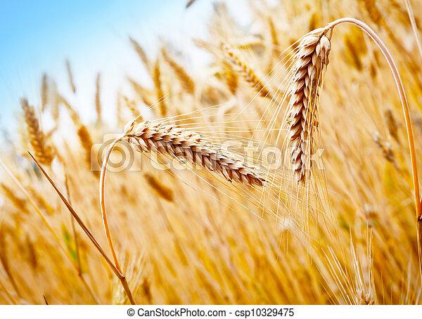 campo, trigo - csp10329475