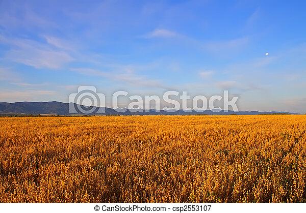 campo, trigo - csp2553107
