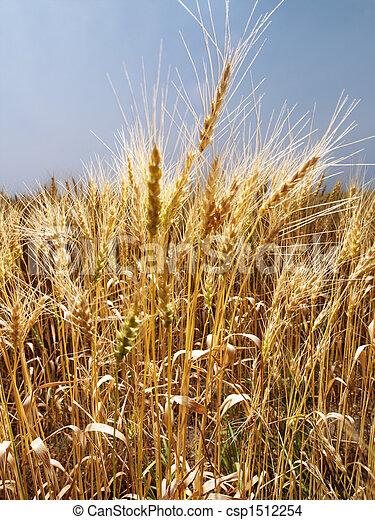 campo, wheat. - csp1512254