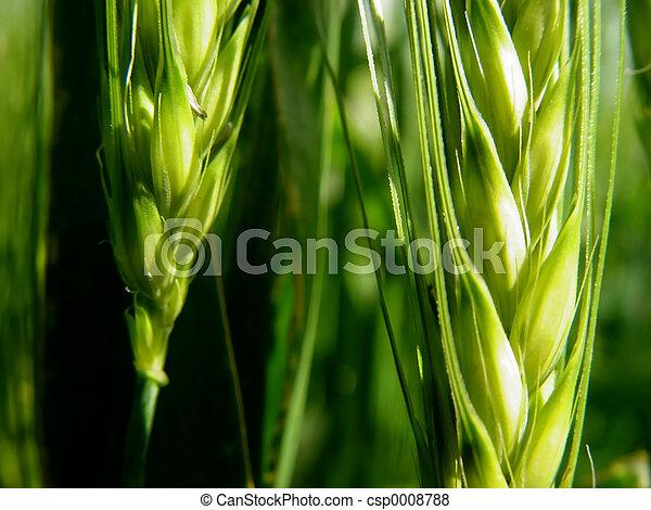 barley ears - csp0008788
