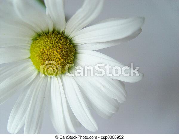 summer daisy white - csp0008952
