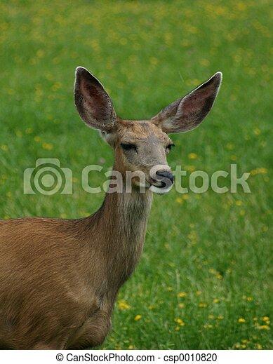 Mule Deer Doe - csp0010820