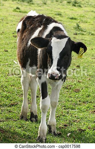 Dairy calf - csp0017598