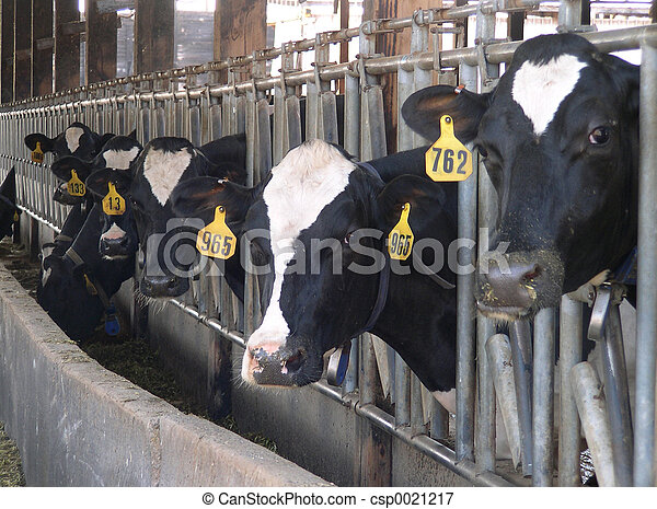 Feeding Cows - csp0021217