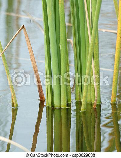 Reeds reflecting - csp0029638