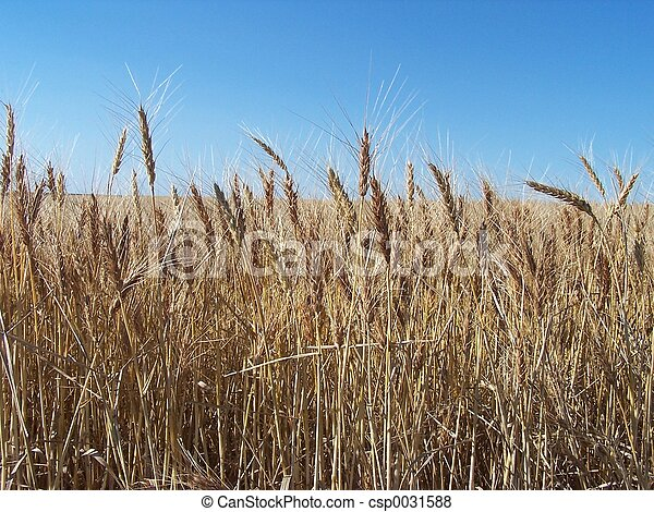 Nearing Harvest - csp0031588