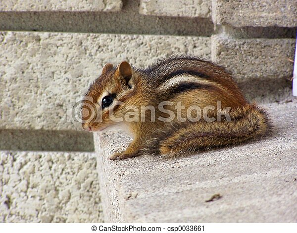 Chipmunk - csp0033661