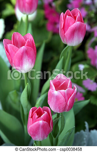 Pink Tulips - csp0038458