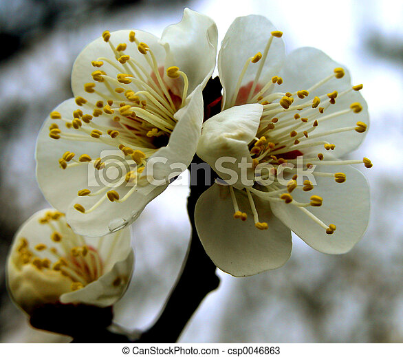 Plum Flowers - csp0046863