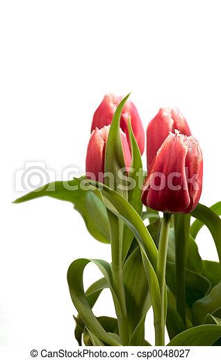 Spring Tulips - csp0048027