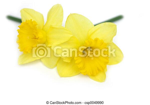 Daffodil Twins - csp0049990