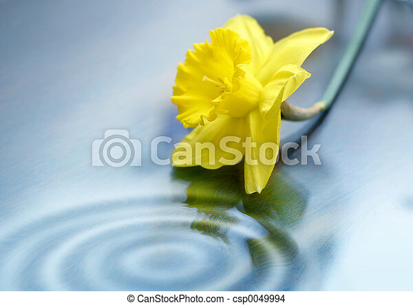 Daffodil and Ripples