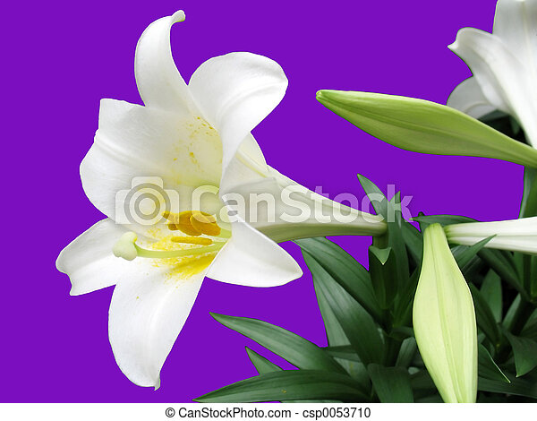 Easter Lilly - csp0053710