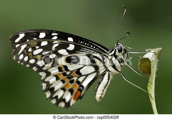Citrus Swallowtail - csp0054028