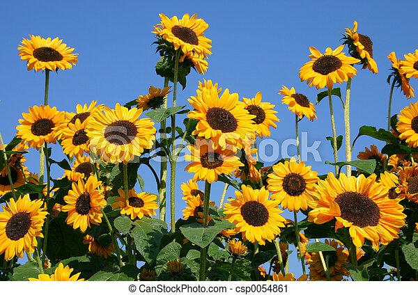 Sunflowers - csp0054861